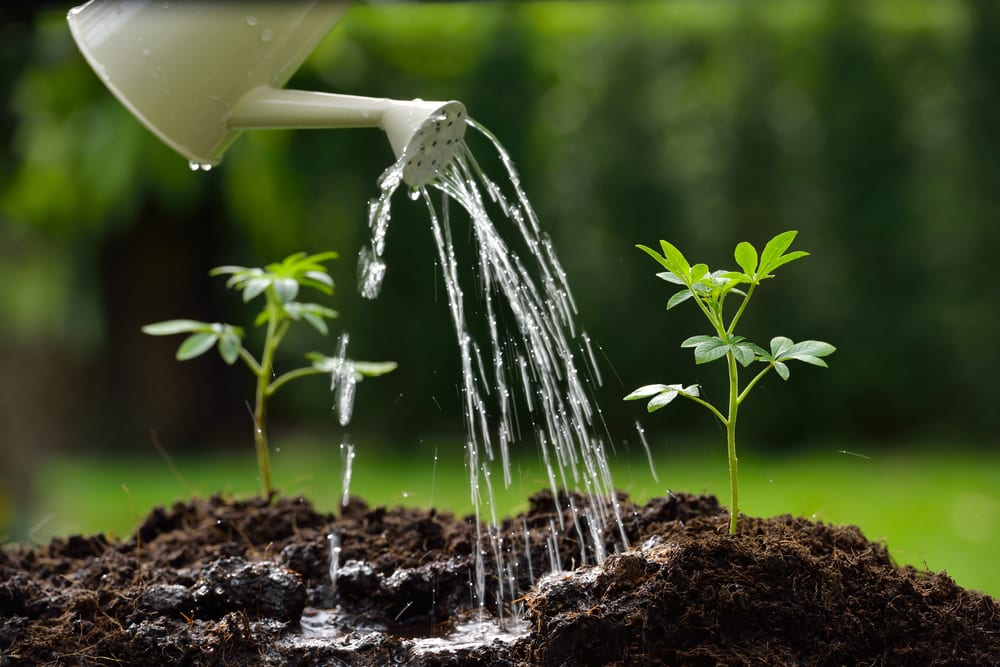 plants sprouting from soil and being watered from can