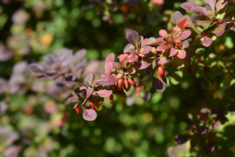 dark purple and red Japanese barberry branches