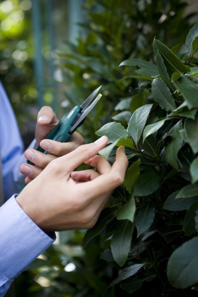 man pruning a bay tree