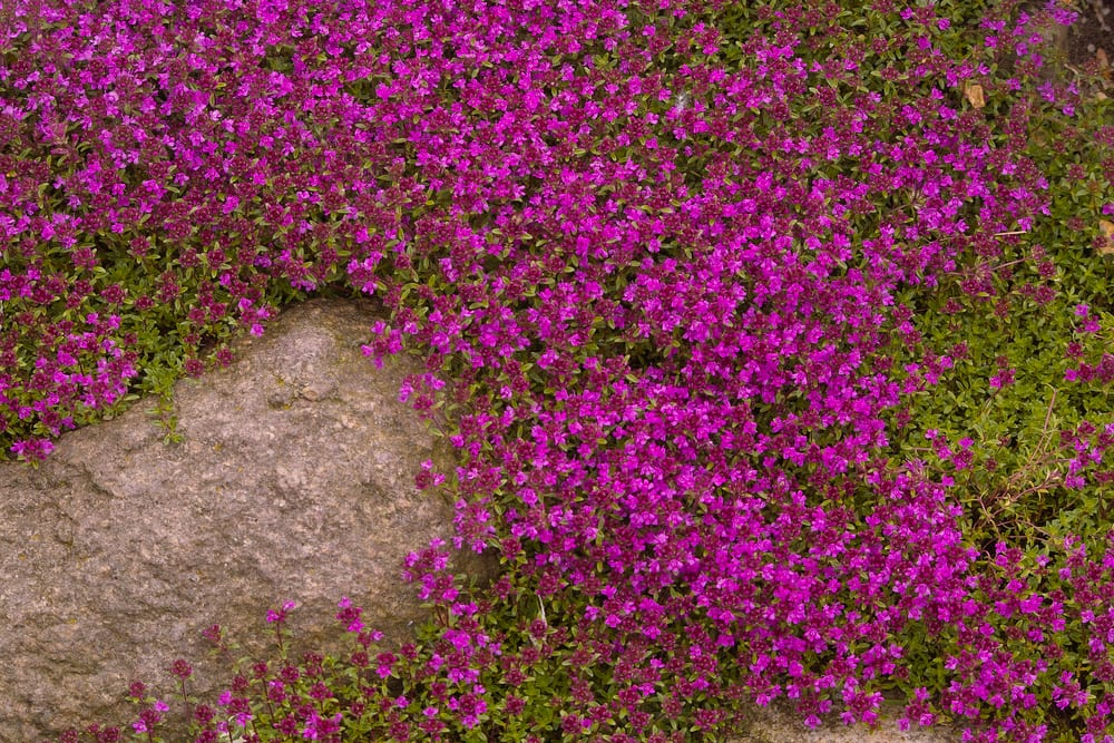 Pink creeping thyme in a field