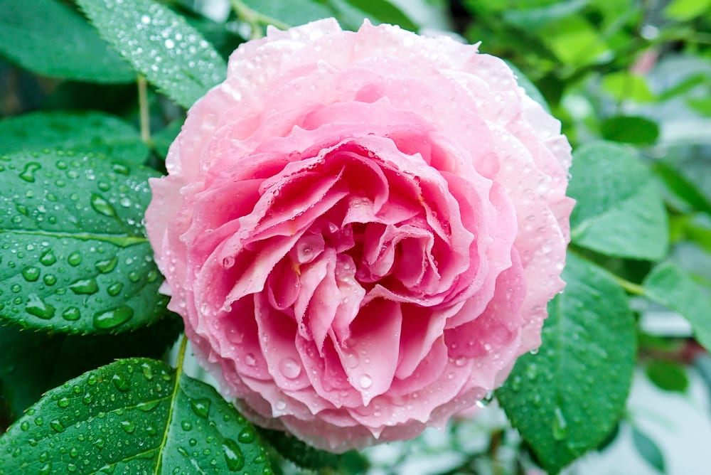 rain-covered close-up of a pink James Galway rose