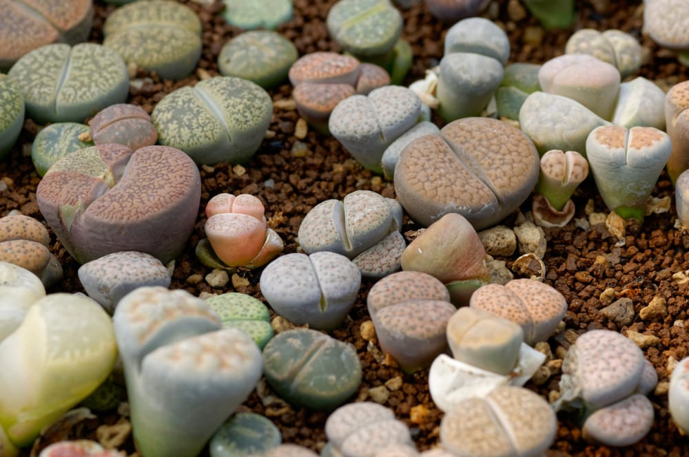 various coloured lithops growing on dry stones