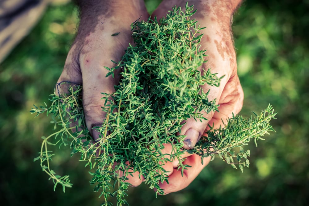 thyme in pair of hands