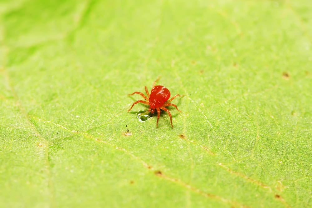 close up of a red mite on a plant