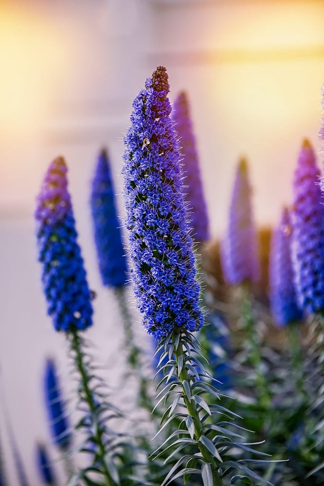stunning Echium Candican flowers with a sunlit background