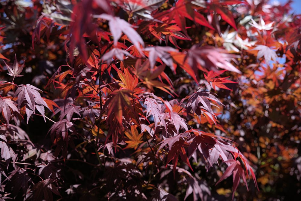 "dark red leaves of the acer palmatum ""Bloodgood"""