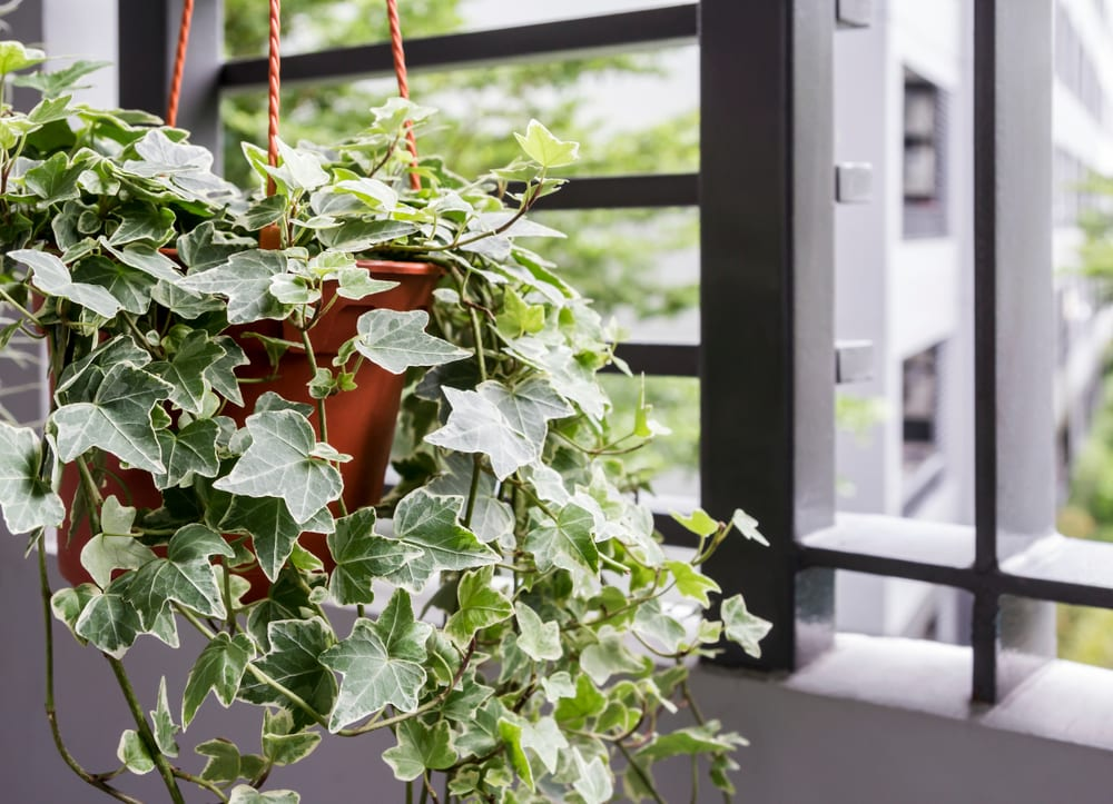 an english ivy plant in a pot on the balcony