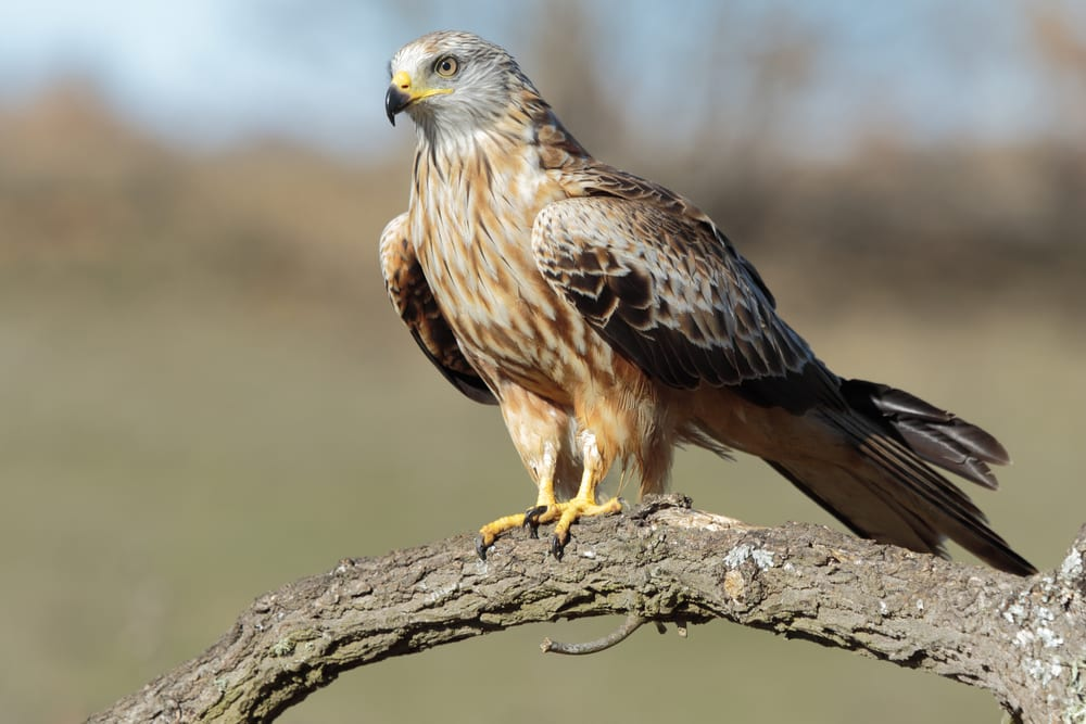 A red kite perched on a branch