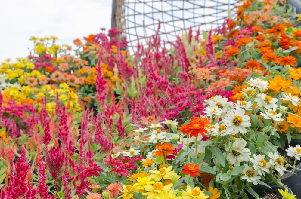 Beautiful zinnia flowers alongside celosia