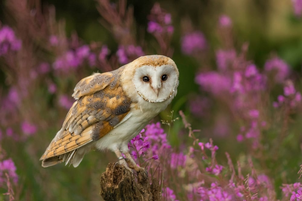 barn owl with background of pink flowers.
