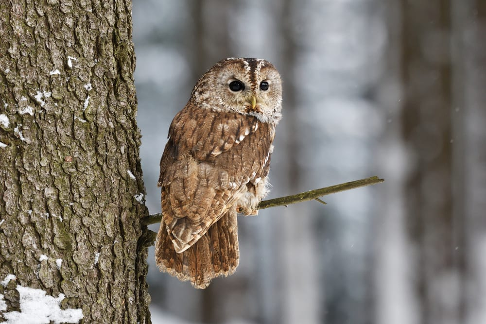 Tawny Owl sat on a tree branch