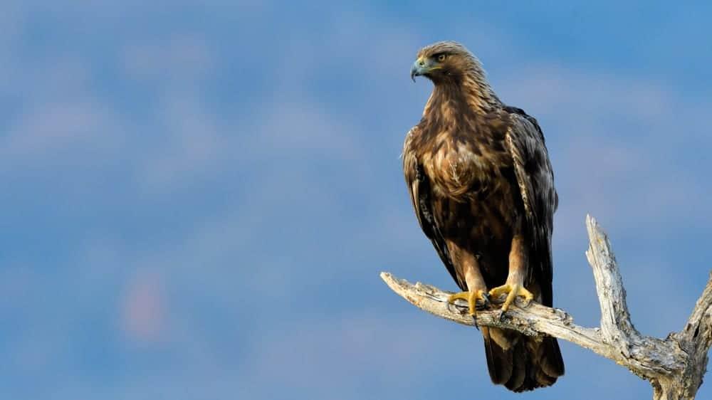 Golden Eagle sat on a branch