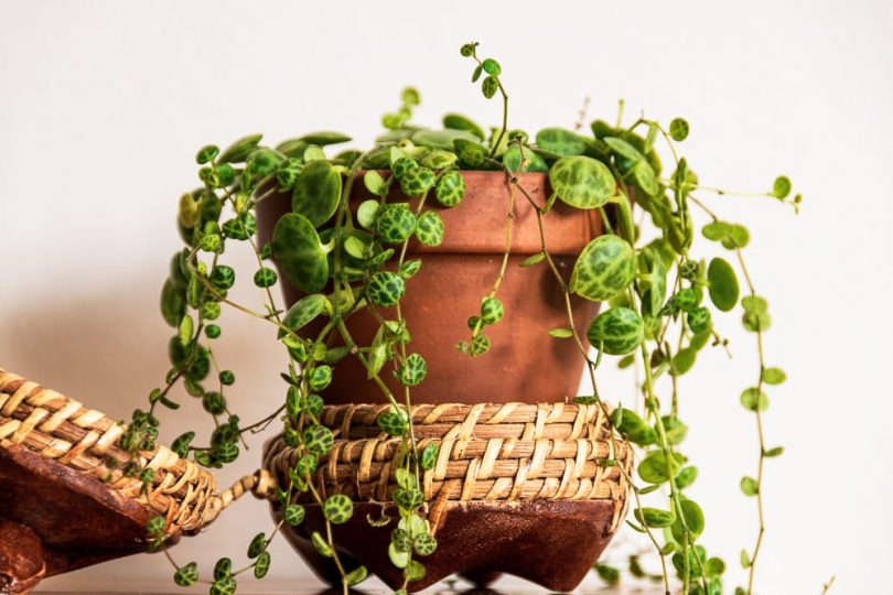 trailing house plant in a terracotta pot