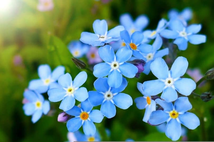 Close up of forget-me-not flowers with bright blue leaves