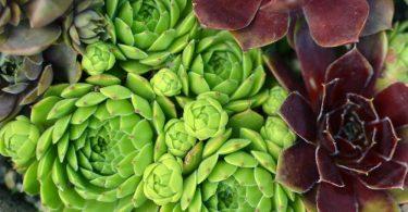 green and red sempervivum in focus