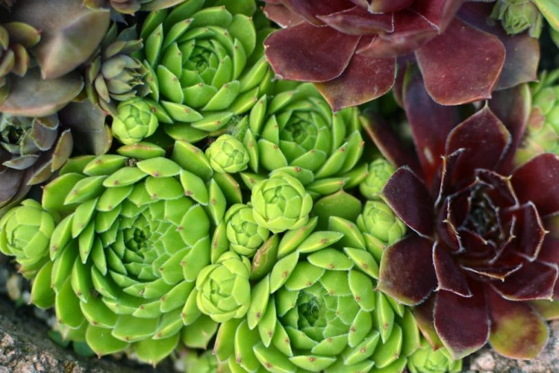 green and red sempervivum in focus