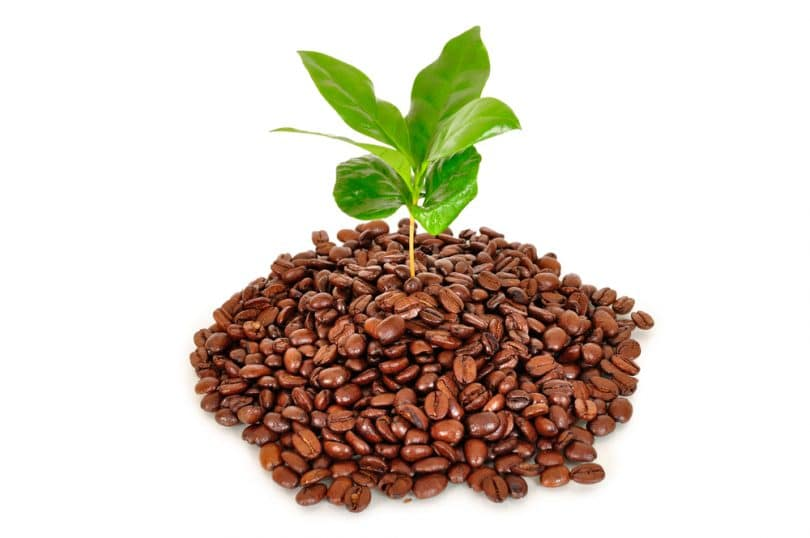 coffee tree growing from coffee beans on white background