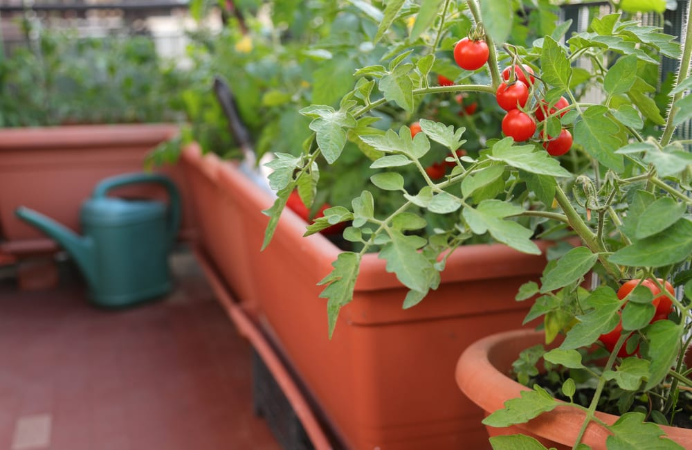 tomato planters in the corner of a balcony