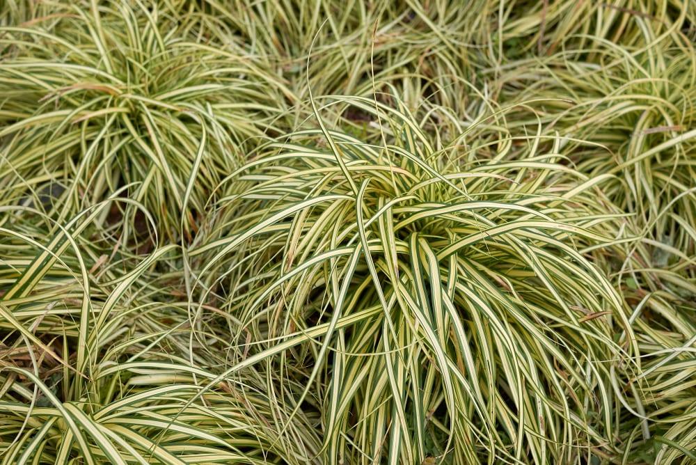foliage of Carex oshimensis