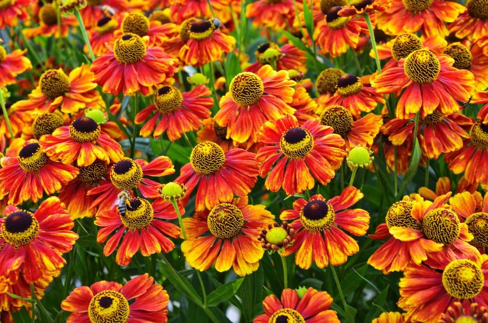 Helenium Konigstiger flowers in bloom