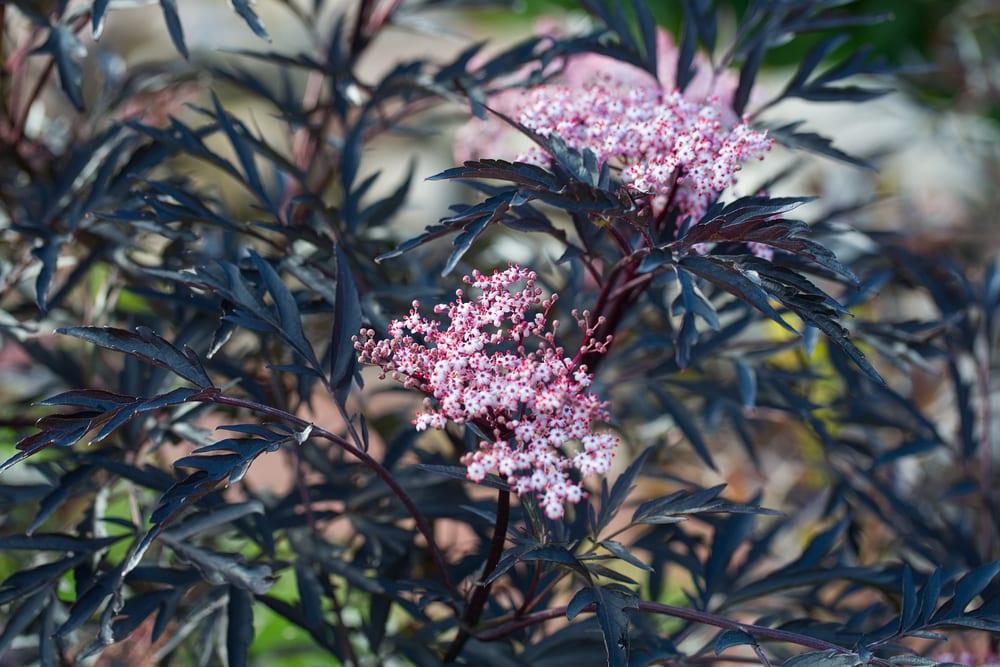 Sambucus nigra leaves and blossoms