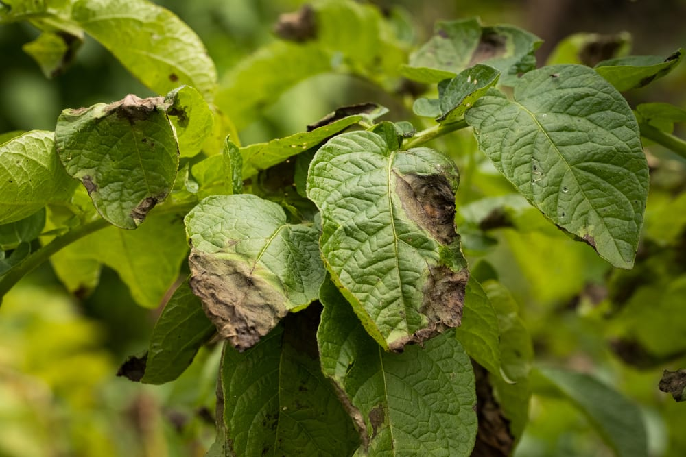 leaves of potato plant stricken with blight