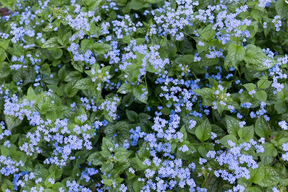 blue flowers of Siberian bugloss