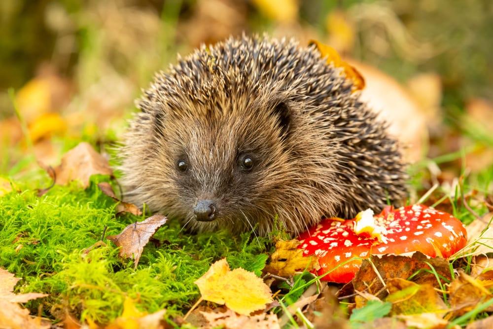 Hedgehog on mossy ground