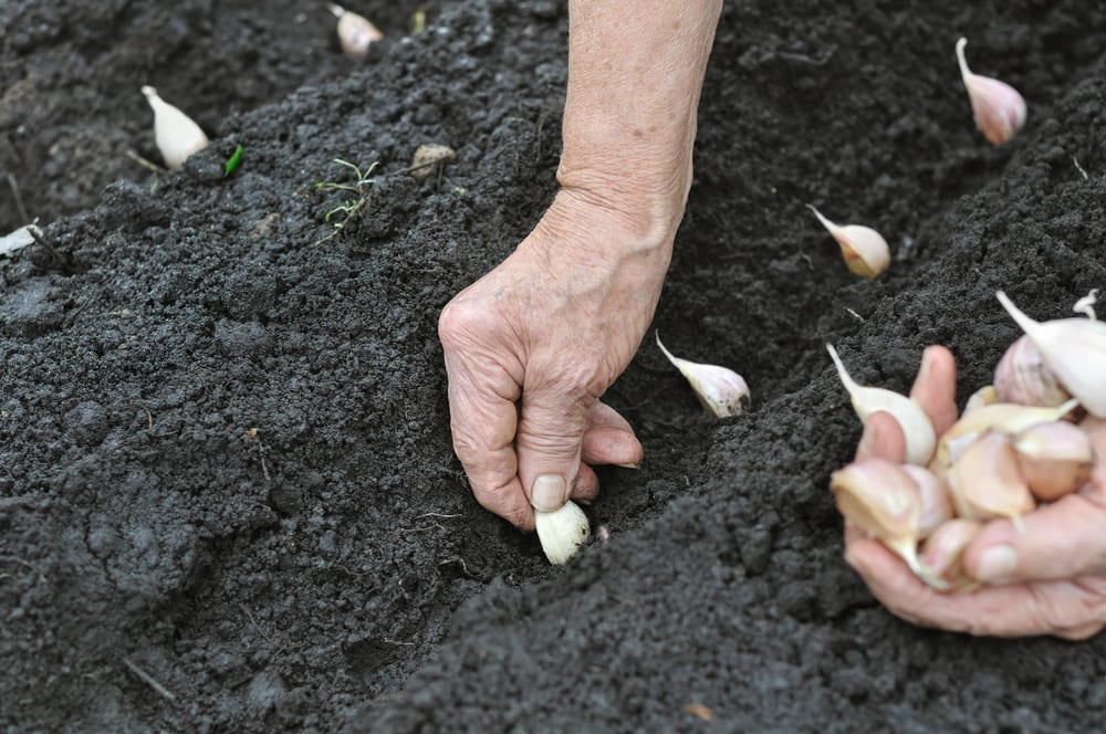 garlic being planted in compost
