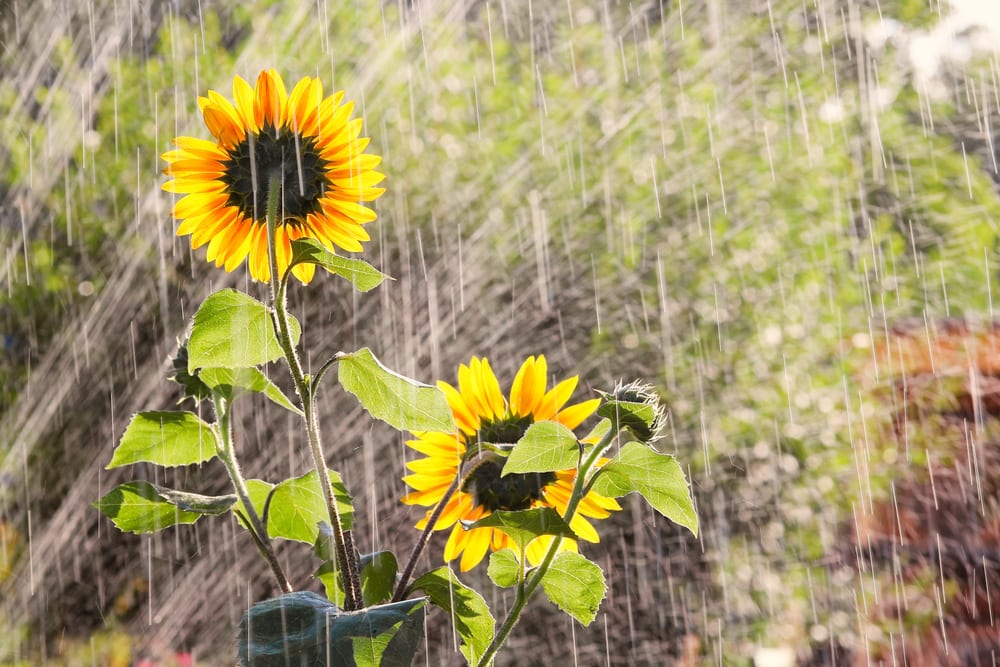 sunflowers being watered in a garden