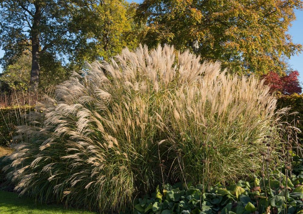 Maiden Grass in a garden