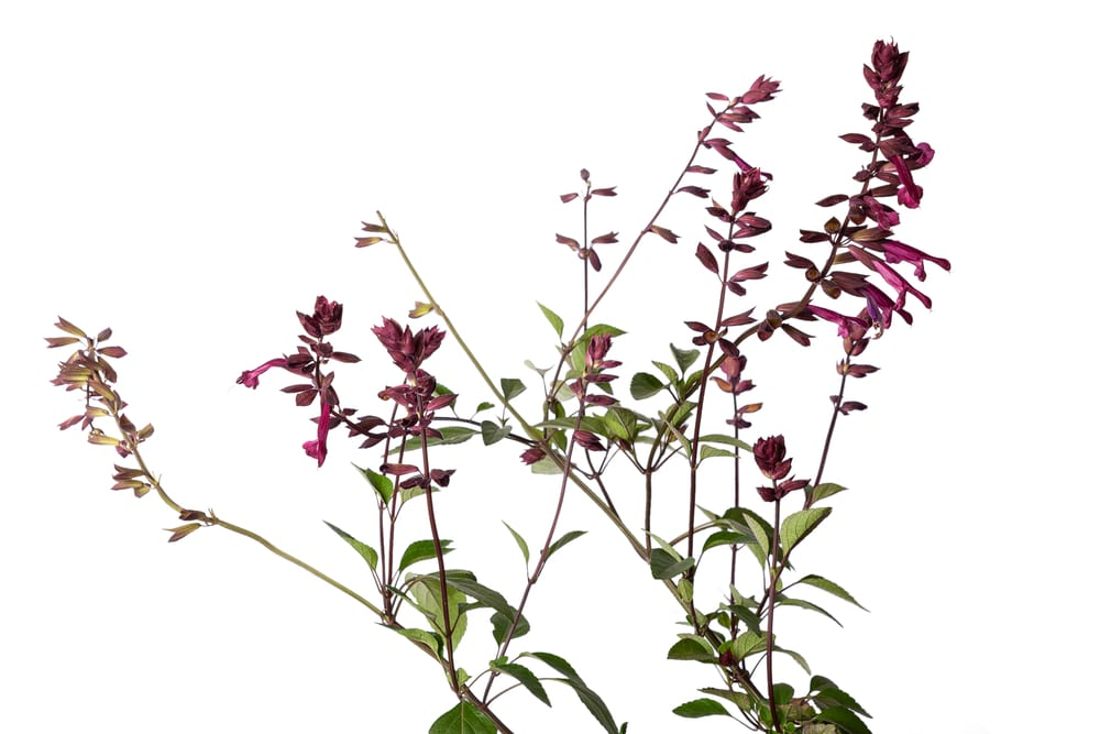 Salvia 'Love and Wishes' on white background