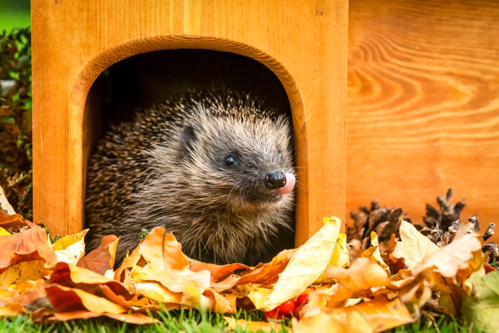 hedgehog inside a man-made house