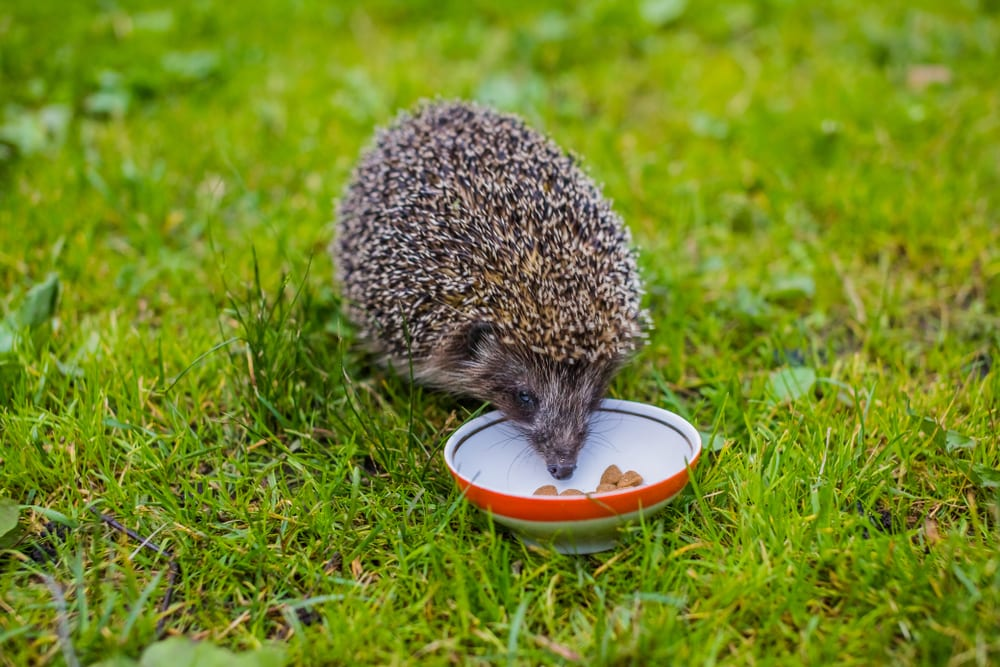 a young hedgehog eating cat food out of a bowl