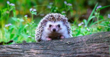 a hedgehog sat on a fallen tree