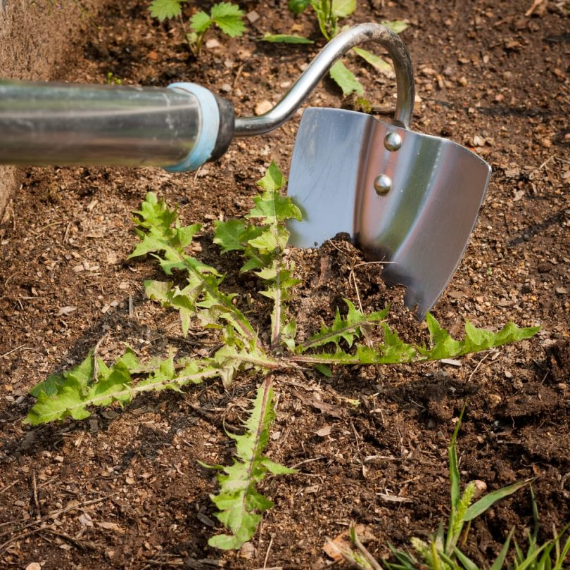 a garden hoe being used to dig up a common weed